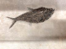 在织地不很细背景的史前鱼化石 库存图片