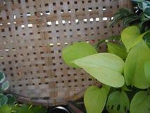 在织法竹子顶部的钚叶子 图库摄影