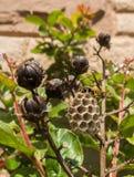 在绉绸桃金娘种子的纸质黄蜂巢 库存图片
