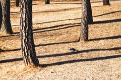 在结构树之间的孤独的鹊在日落 免版税库存照片