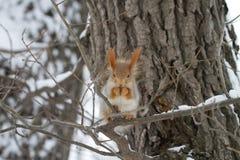 在结构树和雪的红松鼠 库存图片