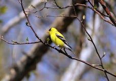 在结构树栖息的公美国金翅雀 免版税库存图片