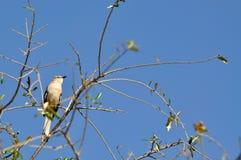 在结构树栖息的模仿鸟 库存照片