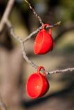 在结构树的二个红色杯子 库存照片
