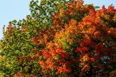 在结构树的五颜六色的秋叶在公园 库存照片