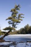 在结构树的冻结湖 免版税库存图片