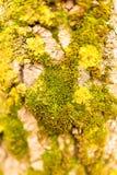 在结构树的吠声的青苔 免版税图库摄影