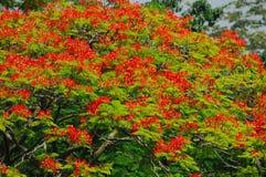 在结构树的孔雀花 免版税图库摄影