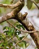 在结构树的小的啄木鸟 免版税库存照片