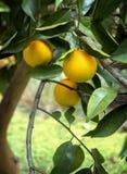 在结构树的成熟桔子在佛罗里达 免版税库存图片