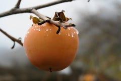 在结构树的柿子 免版税库存照片