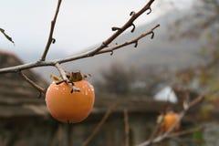 在结构树的柿子 免版税库存图片