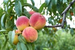 在结构树的桃子 免版税图库摄影