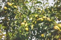 在结构树的梨 免版税库存图片