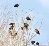 在结构树的椋鸟 免版税库存照片
