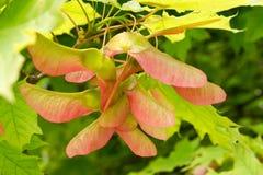 在结构树的槭树种子 免版税库存照片