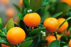 在结构树的橙色果子 免版税库存图片