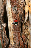 在结构树的橡子啄木鸟 图库摄影