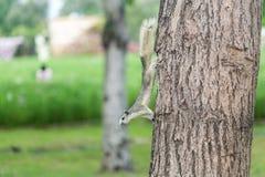 在结构树的灰鼠 库存图片
