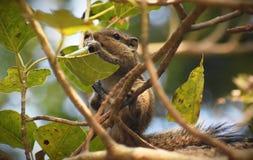 在结构树的灰鼠 免版税库存图片