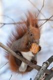 在结构树的红松鼠 免版税库存照片