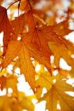 在结构树的红色秋叶 图库摄影