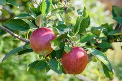 在结构树的红色苹果 图库摄影