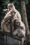 在结构树的结构树猴子 免版税库存图片