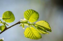 在结构树的绿色叶子 图库摄影
