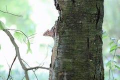 在结构树的花栗鼠 库存图片