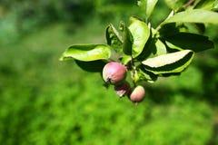 在结构树的苹果 选择聚焦 地道生活方式图象 季节性收获庄稼地方产物概念 库存图片