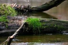 在结构树的草 免版税库存图片