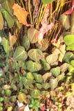 在结构树的蒋酱之叶叶子 库存照片