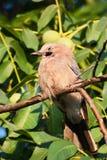 在结构树的蓝色尖嘴鸟(Garrulus glandarius)特写镜头 免版税图库摄影