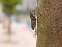 在结构树的蝉 图库摄影