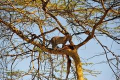 在结构树的豹子 免版税库存照片