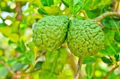 在结构树的香柠檬 免版税库存图片