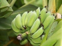 在结构树的香蕉 库存照片