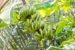 在结构树的香蕉 免版税库存照片