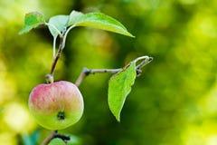 在结构树的Apple 图库摄影