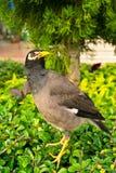 在结构树的Starlings 库存图片