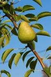 在结构树蓝天的一个绿色梨 库存图片