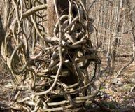 在结构树藤绕附近 免版税库存图片