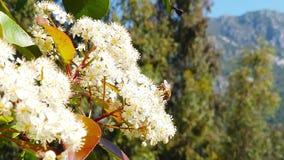 在绣线菊类的植物开花08慢动作的春天蜂