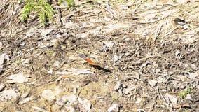 在继续前进地面在自然森林里,昆虫概念的明亮的小蝴蝶 ?? 美丽橙色和黑 股票录像