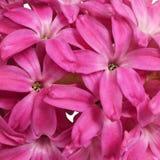 在绯红色风信花开花的花  免版税库存图片