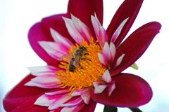 在绯红色,白色大丽花花,自然的蜂蜜蜂 免版税库存图片