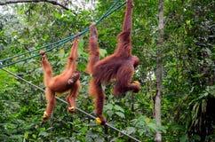 在绳索的两只orang utan猴子猿用在自然保护古晋沙捞越马来西亚的香蕉 免版税库存图片