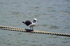 在绳索的海鸥 库存图片