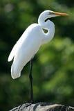 在维多利亚湖-乌干达,非洲的极大的白鹭 免版税图库摄影